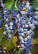 Photographic artwork of wine grapes in a vineyard in wine country