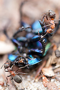 Wood ants attack the carcass of a beetle. Dorset, UK.