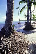 Coconut tree, Siumu, Samoa<br />