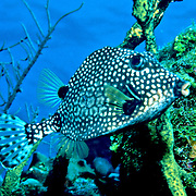 Smooth Trunkfish swim above and around reefs Tropical West Atlantic; picture taken Grand Cayman.