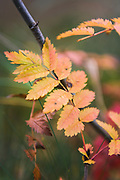 Rowan (Sorbus aucuparia) leaf in autumn colors, Zemgale, Latvia Ⓒ Davis Ulands   davisulands.com