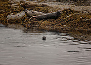 Harbour Seals on Loch Carron
