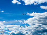 seagull in flight in a blue sky with white cumulus clouds