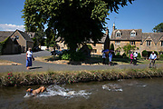 Dog playing in the water at Lower Slaughter in The Cotswolds, United Kingdom. Lower Slaughter village is built on both banks of the River Eye, a slow-moving stream, crossed by two footbridges. Most of the 16th and 17th century homes in the village use Cotswold stone. The name of the village derives form the Old English term 'slough' meaning 'wet land'. The Cotswolds is an area in south central England. The area is defined by the bedrock of limestone that is quarried for the golden coloured Cotswold stone. It contains unique features derived from the use of this mineral; the predominantly rural landscape contains stone-built villages and historical towns.