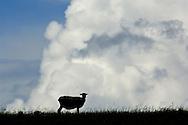 Sheep in pasture field, blue sky, and cumulonimbus thunderstorm clouds, Montezuma Hills, Solano County, California