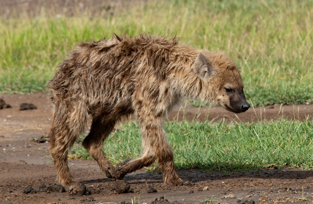 The Spotted Hyena - Fisi