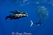 California sea lions, Zalophus californianus, and striped marlin, Kajikia audax (formerly Tetrapturus audax ), feeding on baitball of sardines, or pilchards, Sardinops sagax, off Baja California, Mexico ( Eastern Pacific Ocean ) (dm)