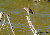 Immature Black-crowned night heron (Nycticorax nycticorax) standing on a post in Lake Chapala, Jalisco, Mexico