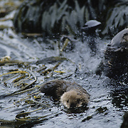Sea Otter pup bobbing in a kelp bed while a female grooms herself nearby. Alaska