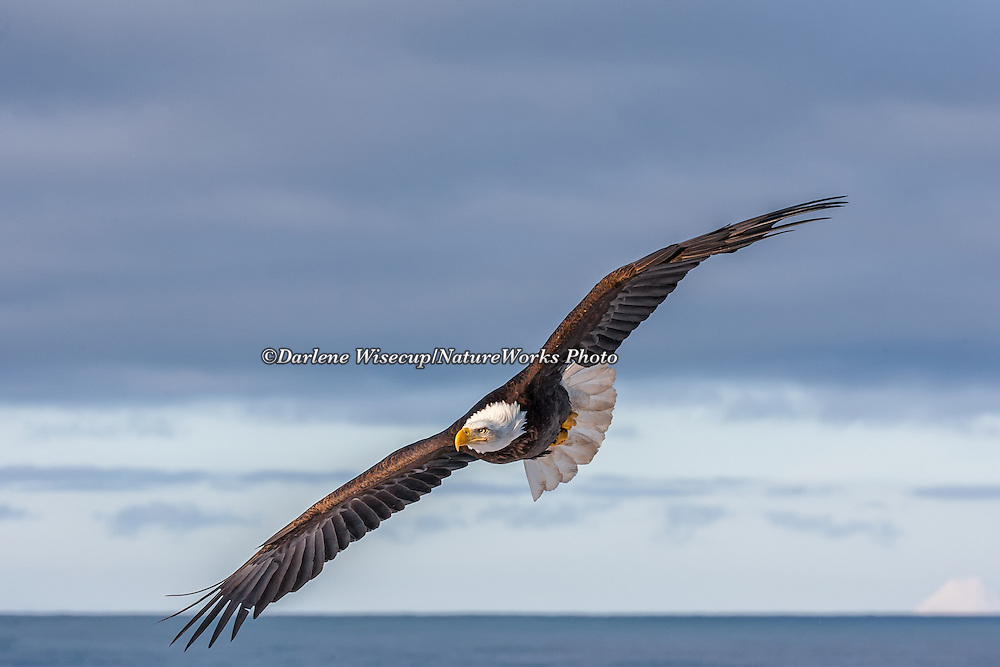 A Bald Eagle in flight over Kachemak Bay with Mt. Augustine in the background