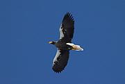 Steller's Sea Eagle, Haliaeetus pelagicus, in flight, flying against blue sky background, Okhotsk Sea, Rausu, Hokkaido, Japan, japanese, Asian, wilderness, wild, untamed, photography, ornithology, snow, bird of prey, Vulnerable, mountain