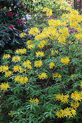 Rhododendron luteum AGM