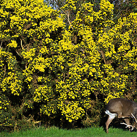 31-3-09 Oh deer... A young sika deer scratches his head while feeding near a gorse bush at Killarney Golf Club on Tuesday. The strong sunshine has resulted in full gorse blossom this week..Picture by Don MacMonagle
