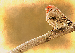A Male House Finch Posing On A Branch Letting Me Snap A Profile Shot