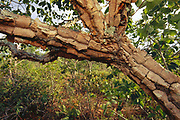 Thick Corky Bark - Fire Resistant<br />Cerrado Habitat.  BRAZIL.  South America<br />THREATENED HABITAT