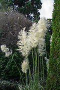 Maidenhead, Berkshire, United Kingdom, Thursday,  14/10/2021,  General View, Boulters Gardens , Pampas Grasses against a Blue Sky, Thames Valley, [Mandatory Credit; Pete Spurrier],