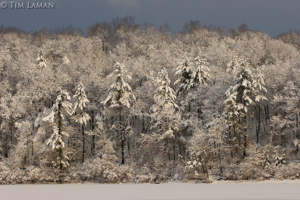 """""""After the Storm"""".Sunrise illuminates the forest after a winter storm at Walden Pond.  Winter views of Walden Pond."""