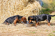 Black and tan Jack Russell puppies drink from a  big water bowl, England, United Kingdom