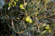 16-10-2015 -  Foto: Olijfbomen Ulmo Estate van Planeta. Genomen tijdens een persreis met de Rocco Forte Invitational op Ulmo Estate in Sambuca di Sicilia, Italië.