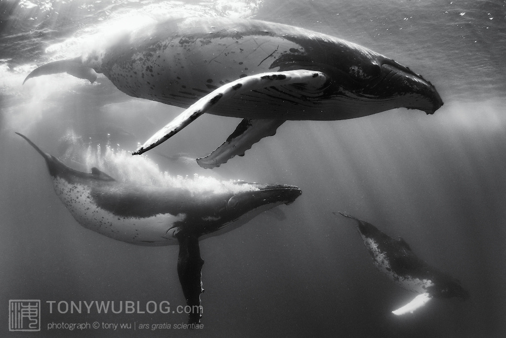 Part of an energetic competitive group heat run of humpback whales, with one pictured here blowing a trail of bubbles. Photographed in Vava'u, Tonga.