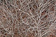 Barren Branches of California Buckeye Tree (Aesculus californica) Tulare County, California