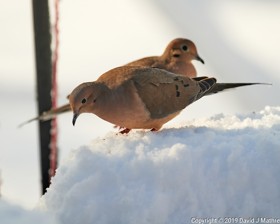 Mourning Dove. Image taken with a Nikon D5 camera and 600 mm f/4 VR lens