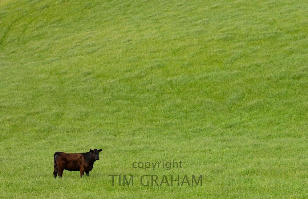 Bull in a  meadow near Waiuku on North Island  in New Zealand