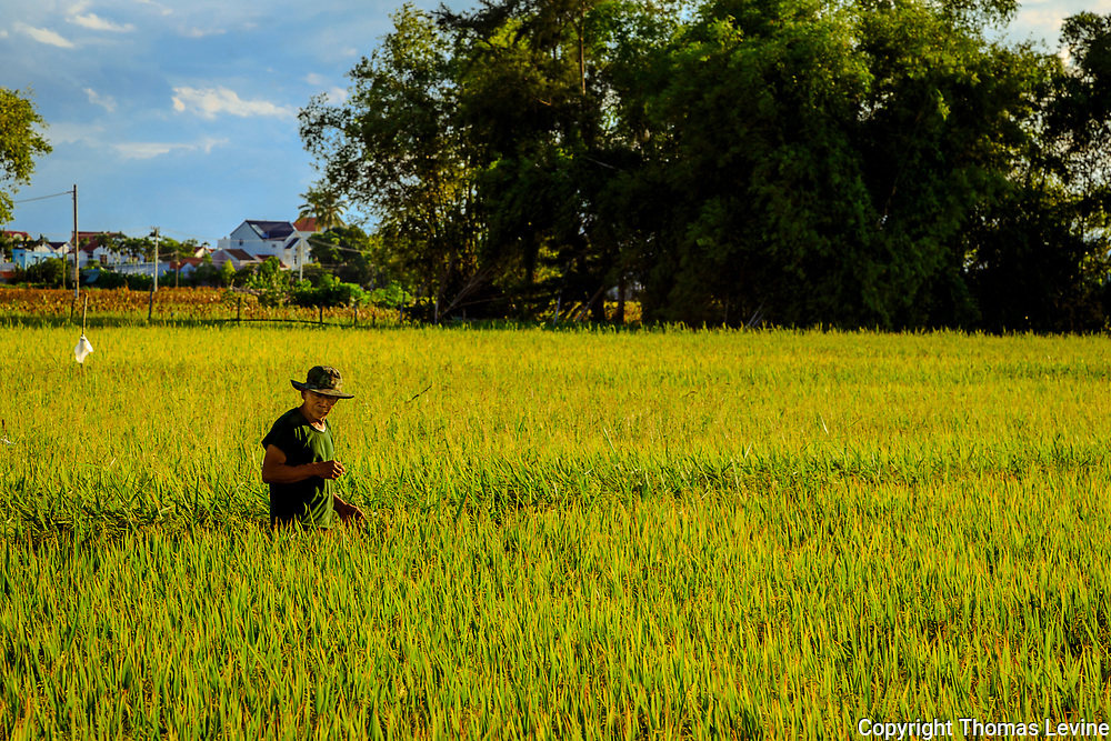One man with a hat in the middle of a rice field.