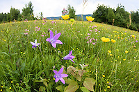 Blumenwiese, Poloniny Nationalpark, Ost-Slowakei / flowering meadow, Poloniny Nationalpark, East Slovakia