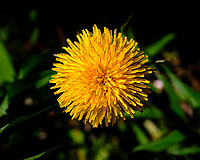 Dandelion Flower. Image taken with a Fuji X-H1 camera and 80 mm f/2.8 macro lens (ISO 200, 80 mm, f/11, 1/600 sec).