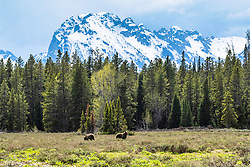 A grizzly's world of jagged peaks, forest and meadows. The Greater Yellowstone Ecosystem is the southern most remaining grizzly habitat in the Lower forty-eight states and the grizzlies are only welcome in about 20% percent of the ecosystem. <br /> <br /> This is a large file and can be printed well very large.