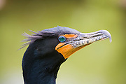 Portrait of a double-crested cormorant (Phalacrocorax auritus) along the Anhinga Trail in Everglades National Park, Florida.