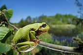Amphibians | Amphibien