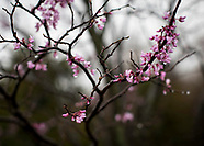 Rainy Spring Blossoms