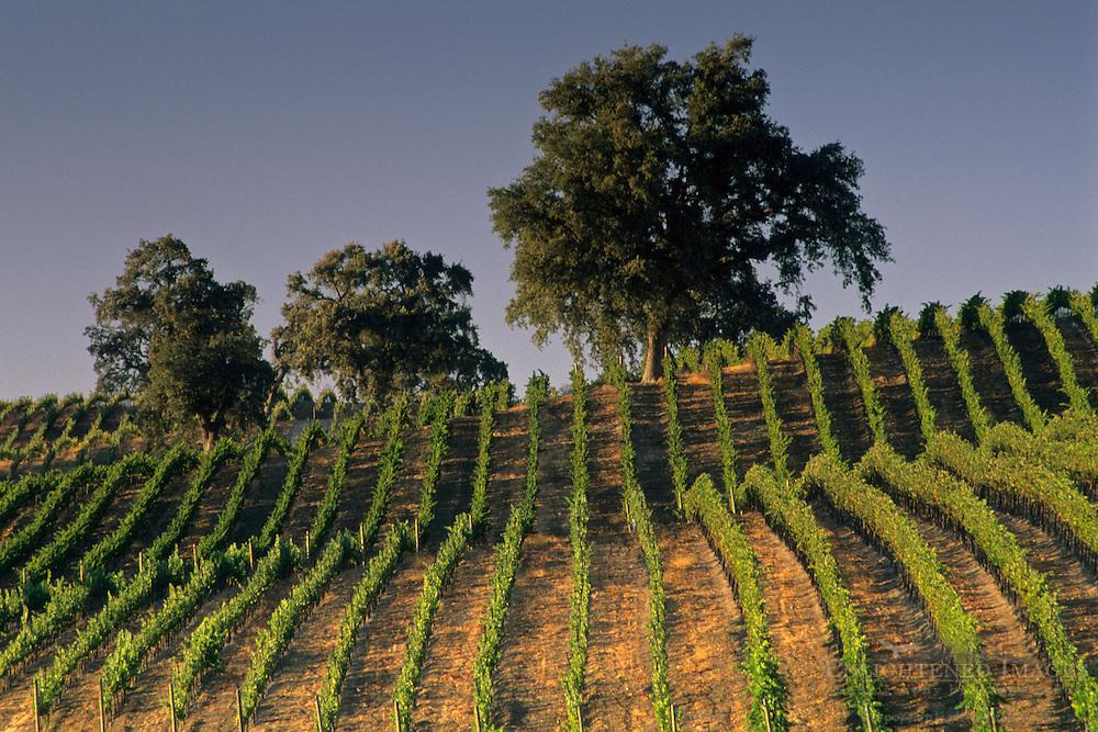 Vineyards at Summerwood Winery, Paso Robles, San Luis Obispo County, California