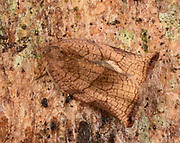 Close-up of a female Large Fruit-tree Tortrix moth (Archips podana) resting camouflaged on tree bark in a Norfolk garden in summer.