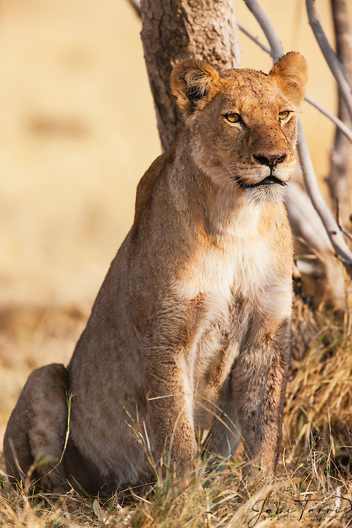 A lioness (Panthera Leo) sitting and watching her pride, Khwai River, Moremi Game Reserve,Botswana,Africa