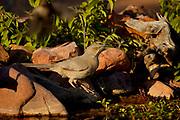 Curve-billed Thrasher (Toxostoma curvirostre) Amado, Arizona<br /> animals<br /> wildlife<br /> birds<br /> thrasher