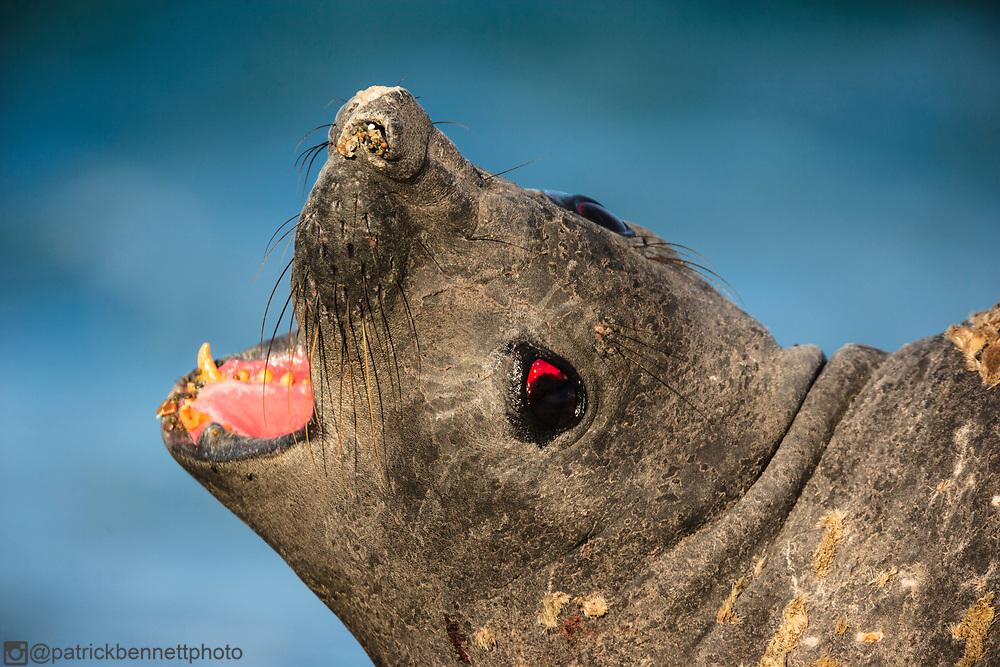 Close up of an elephant seal on the rocky beach near Estancia La Ernestina at Punta Norte, Peninsula Valdez, Chubut, Patagonia, Argentina.