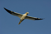 Northern gannet (Sula bassana or Morus bassanus), booby, Bass Rock Scotland   Basstölpel (Sula bassana or Morus bassanus), Tölpel, Schottland Großbritannien