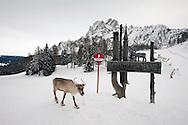 Reindeer near Rudi Hütte. Dolomiti di Sesto (Sexten Dolomites), Südtirol (South Tyrol), Italy © Rudolf Abraham