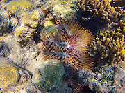 Crown of Thorns, Starfish, Rainbow Reef, Vanua Levu, Fiji