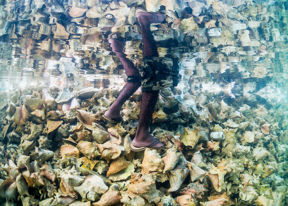 A fisherman walks over a pile of queen conch (Lobatus gigas) shells. The pile is known as a midden. Image made on Eleuthera Island, Bahamas.