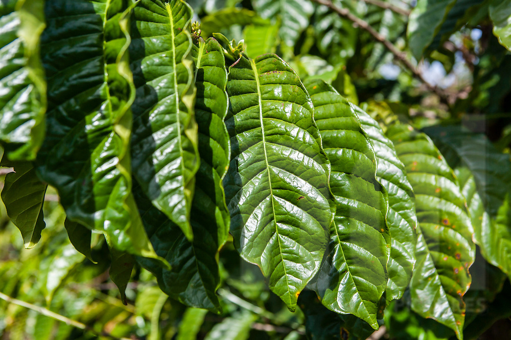 Leaves of a coffee tree, Da Lat area, Vietnam, Southeast Asia