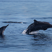 Spinner dolphins (Stenella longirostris) jumping, Puerto Princesa, Palawan, the Philippines.