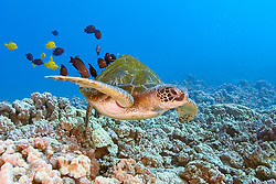 green sea turtle with deformed shell, Chelonia mydas, being cleaned by yellow tang, Zebrasoma flavescens and gold-ring surgeonfish, Ctenochaetus strigosus, (endemic to Hawaii), Kona, Big Island, Hawaii, Pacific Ocean