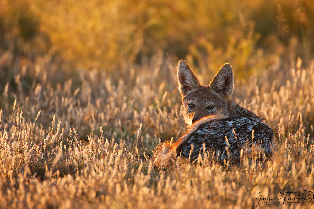 A black-backed jackal (Canis mesomelas)  curled up in the sun on a cold Kalahari morning,Central Kalahari Game Reserve, Botswana, Africa