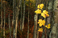 Fall leaves at the Bashakill Wildlife Management Area on Oct. 9, 2004.