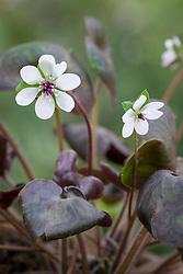 Hepatica pubescens