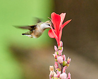 Ruby-throated Hummingbird. Image taken with a Leica SL2 camera and 90-280 mm VR lens.